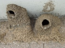 Swallow Nest