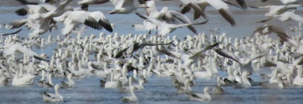 cropped-snow-geese-flying-and-sitting.jpg