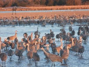 sandhill-cranes-2016