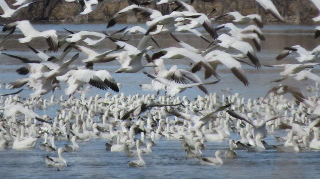 Snow Geese, flying and sitting