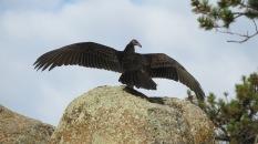 turkey-vulture-mark-gorges-10-1-2015