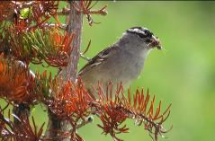 white-crowned-sparrow-barb-gorges