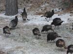 Wild Turkey, Estes Park CO.