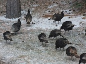 Wild Turkey, Estes Park CO.