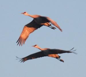 sandhill-cranes2