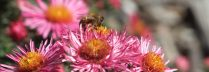 cropped-aster-with-bee.jpg