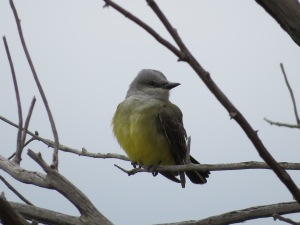 Western Kingbird - 2015 May