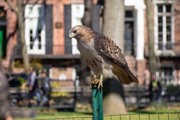 May 2020 Red-tailed Hawk by Nora LambertMacaulay Library