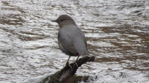 American Dipper Gorges