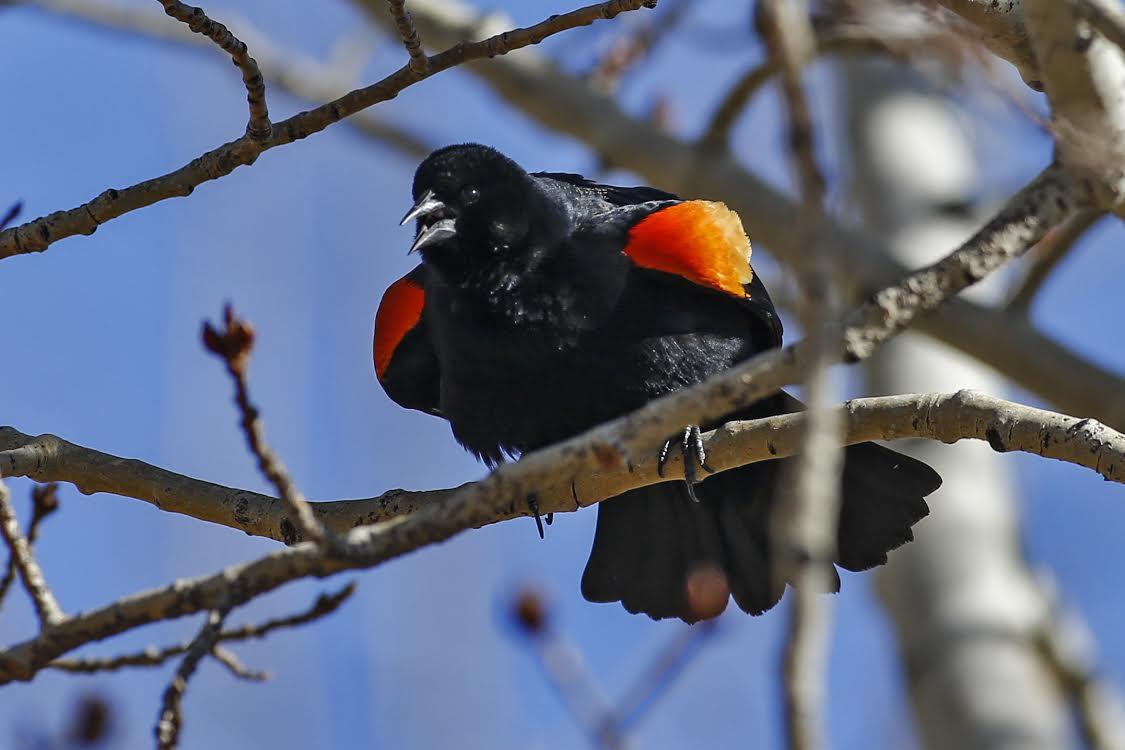 red-winged-blackbird_arnold