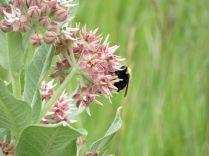 Milkweed and Pollinator